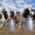 Вот сколько коровы дают молока: рейтинг регионов РФ по производству молока